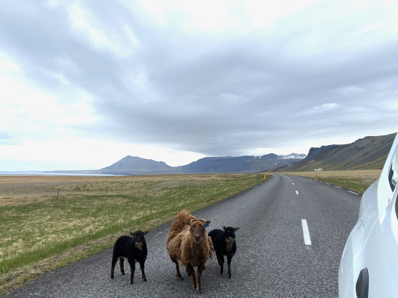 Three small Icelandic cattle in the middle of the road.